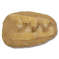 Mosasaurus Small Jawbone