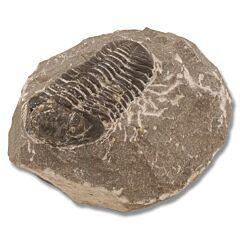 Paleozoic Era Trilobite Fossil