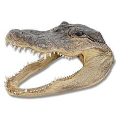 Large American Alligator Head