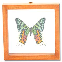 Single Urania Sunset Moth Natural History Display
