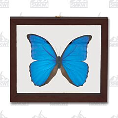 Single Morpho Didius Butterfly Natural History Display
