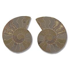 "Ammonite Pair - 4""-5"" Large Size"