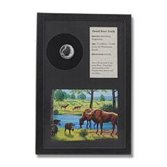 Deer Tooth Fossil Display