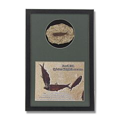 Fish Fossil Display